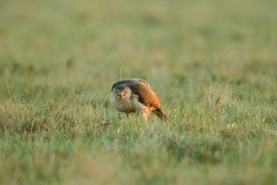 Photo: A Cooper's hawk feeds on a male Attwater's prairie-chicken it killed on a lek near Texas City, TX. Birds of prey are avital part of a healthy ecosystem, but since APC's habitat has shrunk to a few small patches of prairie, hawks pose a substantial risk to the endangered bird.