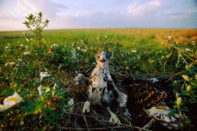 Photo: White tailed-hawks are normal parts of the prairie ecosystem, but when shrinking habitat leaves endangered birds like the Attwater's prairie chicken no place to hide, predation becomes a problem.
