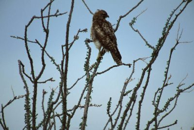Photo: Red-tailed hawk at Cabeza Prieta NWR, Arizona.