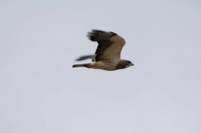 Photo: A hawk near the Charles M. Russell National Wildlife Refuge.