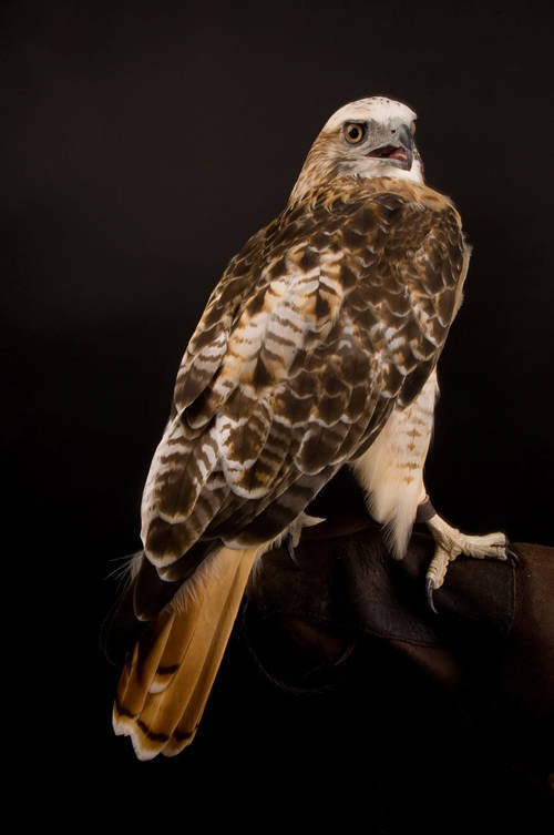 Picture of a Krider's, or light phased, red-tailed hawk. (Buteo jamaicensis krideri)
