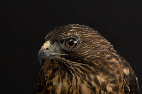 A broadwing hawk (Buteo platypterus).