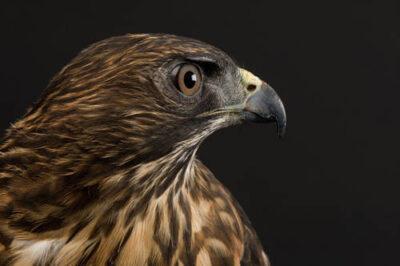 A broadwing hawk (Buteo platypterus).