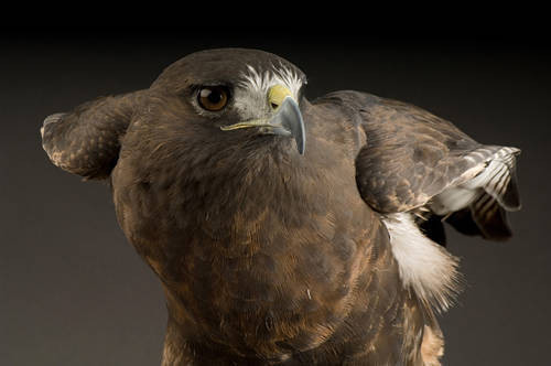 Picture of a red-tailed hawk (Buteo jamaicensis) at the Denver Zoo.