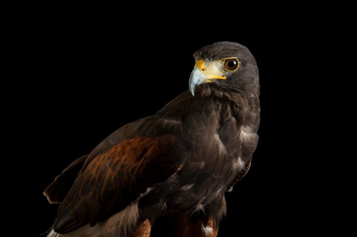 A male Harris' hawk (Parabuteo unicinctus harrisi) at the Denver Zoo.