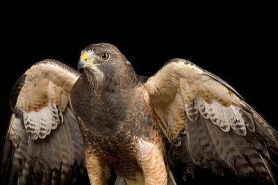 A Swainson's hawk (Buteo swainsoni) at the World Bird Sanctuary.