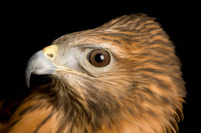 A red-shouldered hawk (Buteo lineatus) at the Sutton Avian Research Center.