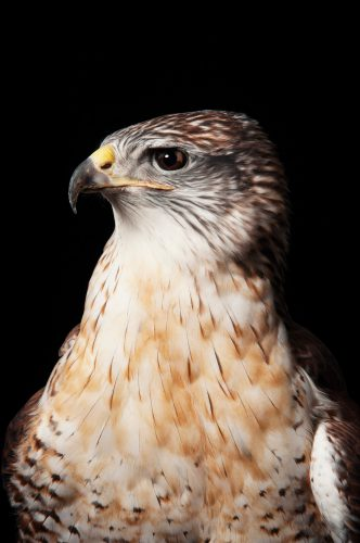A ferruginous hawk (Buteo regalis) at the Sutton Avian Research Center.