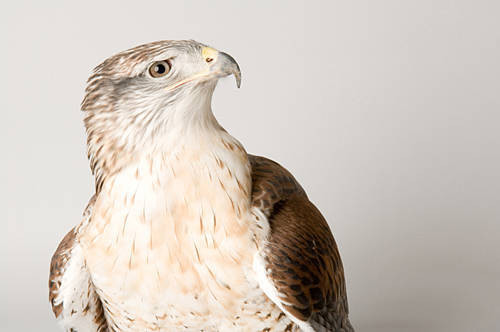 A ferruginous hawk (Buteo regalis) at the Sutton Avian Research Center.