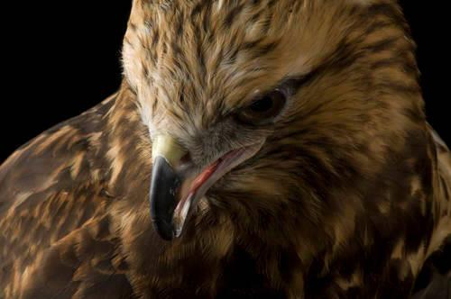 Rough-legged hawk (Buteo lagopus sanctijohannis) at the Toledo Zoo.