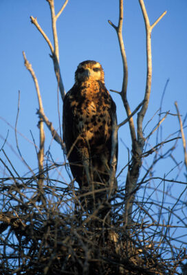A roadside hawk (Rupornis magnirostris) peers out of a tree in Brazil's Pantanal region.