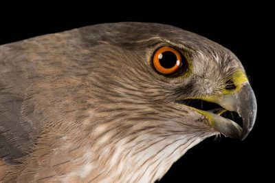 Cooper's hawk (Accipiter cooperii) at The Wildlife Center in Espanola, New Mexico.