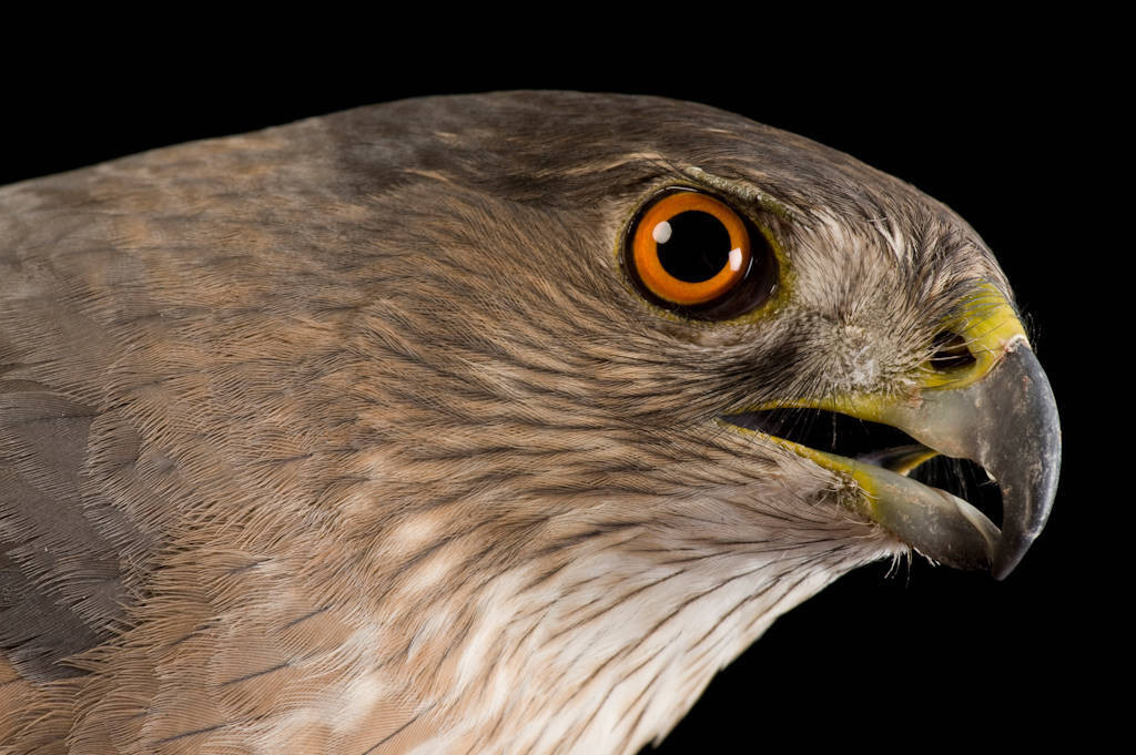 Cooper's hawk (Accipiter cooperii) at The Wildlife Center in Espanola, New Mexico.