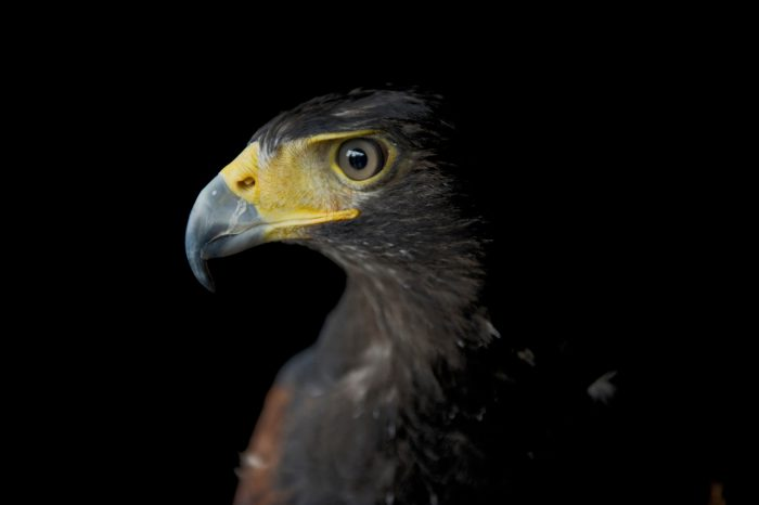 A Harris's hawk (Parabuteo unicinctus harrisi) at the New York State Zoo in Watertown, NY.