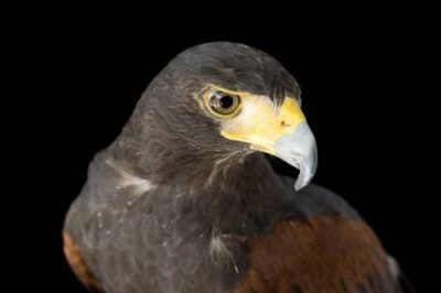 A Harris's hawk (Parabuteo unicinctus harrisi) is held by a handler at the New York State Zoo in Watertown, NY.