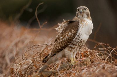 Picture of a red-tailed hawk (Buteo jamaicensis) feeds on a road-killed squirrel.