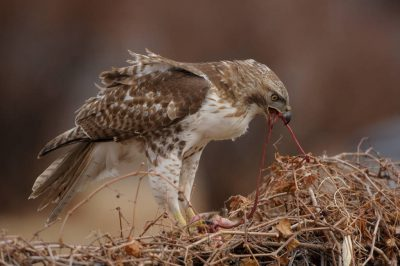 Picture of a red-tailed hawk (Buteo jamaicensis) feeding on a road-killed squirrel.