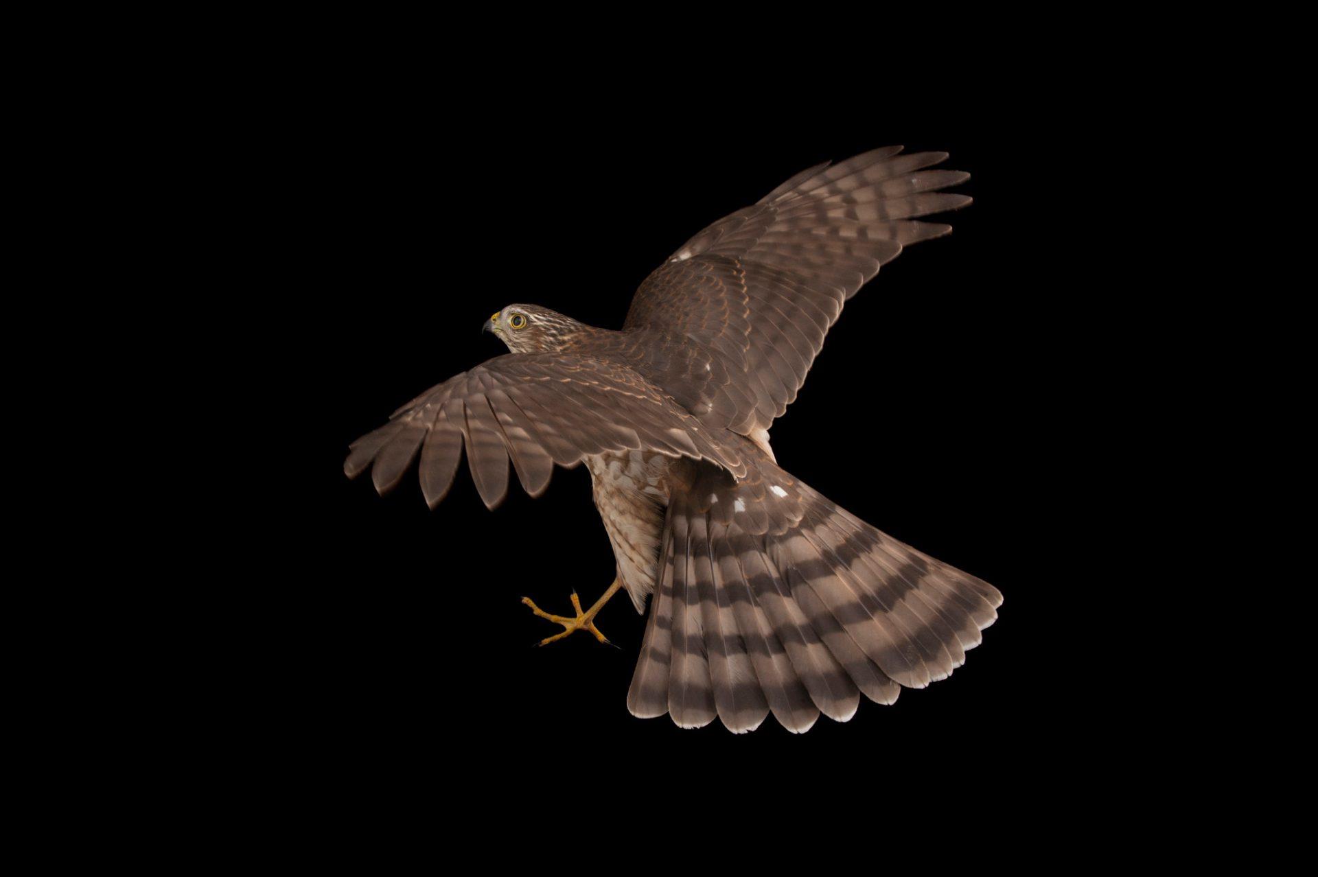 A Sharp-shinned hawk (Accipiter striatus) at Raptor Recovery Nebraka.