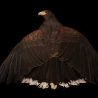 Photo: A western harris' hawk (Parabuteo unicinctus superior) named Hudson at The Living Desert.