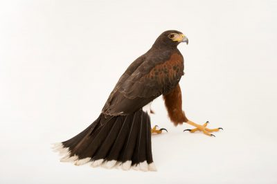 A western harris' hawk (Parabuteo unicinctus superior) named Hudson at The Living Desert in Palm Desert, California. He was once a show bird in Florida before coming here.