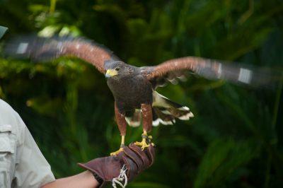 Photo: A keeper holds a Harris hawk, Sea Island, Georgia.