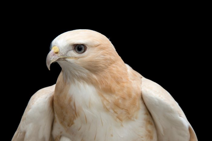 Picture of a partial albino red-tailed hawk (Buteo jamaicensis) at the Minnesota Zoo.
