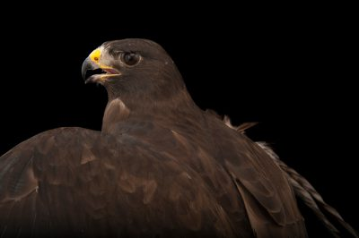 A short-tailed hawk (Buteo brachyurus) at the Audubon Center for Birds of Prey.