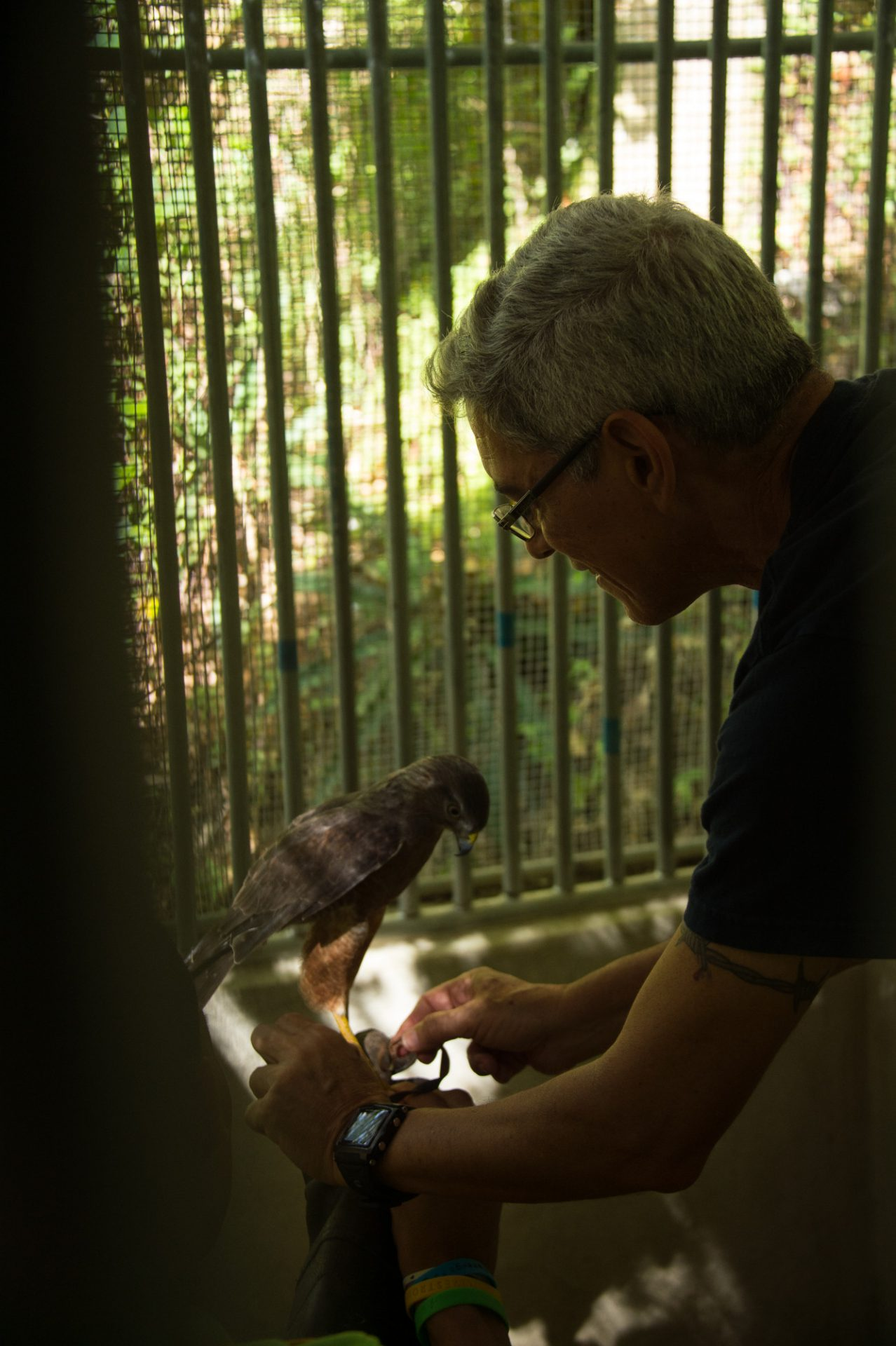 Picture of an animal trainer working with a critically endangered Ridgeway's hawk (Buteo ridgwayi) at Parque Zoologico Nacional in Santo Domingo, Dominican Republic.