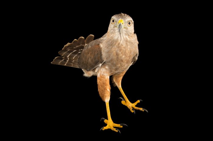 Picture of a critically endangered Ridgway's hawk (Buteo ridgwayi) at Parque Zoologico Nacional in Santo Domingo, Dominican Republic.