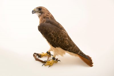 Picture of a red-tailed hawk (Buteo jamaicensis borealis) at the Virginia Aquarium.