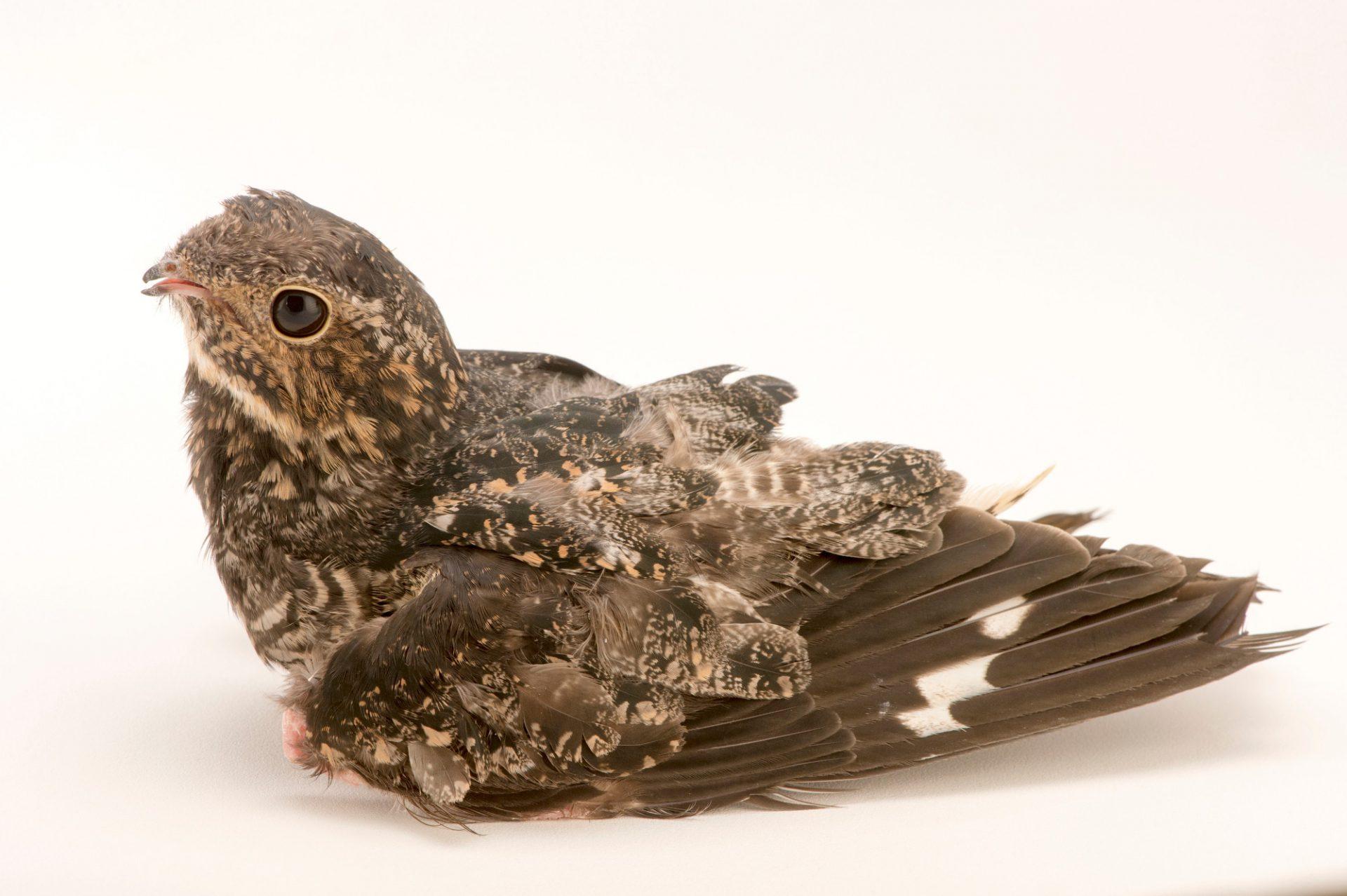 Picture of a common nighthawk (Chordeiles minor) at the Virginia Aquarium.