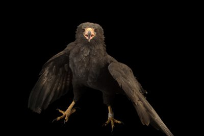 Picture of a common black hawk (Buteogallus anthracinus subtilis) at the National Aviary breeding center.