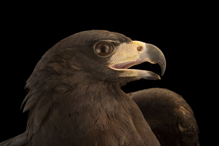 Picture of a great black hawk (Buteogallus urubitinga) at the National Aviary breeding center.