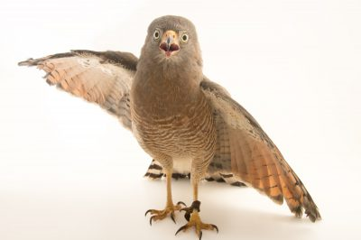 Picture of a roadside hawk (Rupornis magnirostris magnirostris) at the National Aviary breeding center.