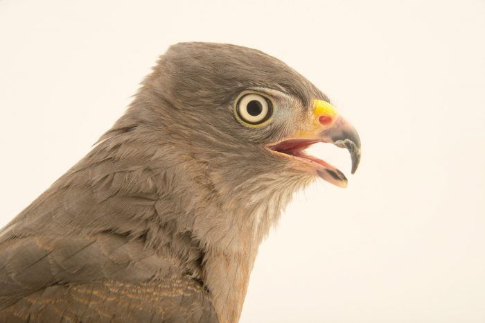Picture,of a oadside hawk (Rupornis magnirostris magnirostris) at the National Aviary breeding center.