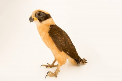 Picture of a laughing falcon (Herpetotheres cachinnans) at the National Aviary breeding center.