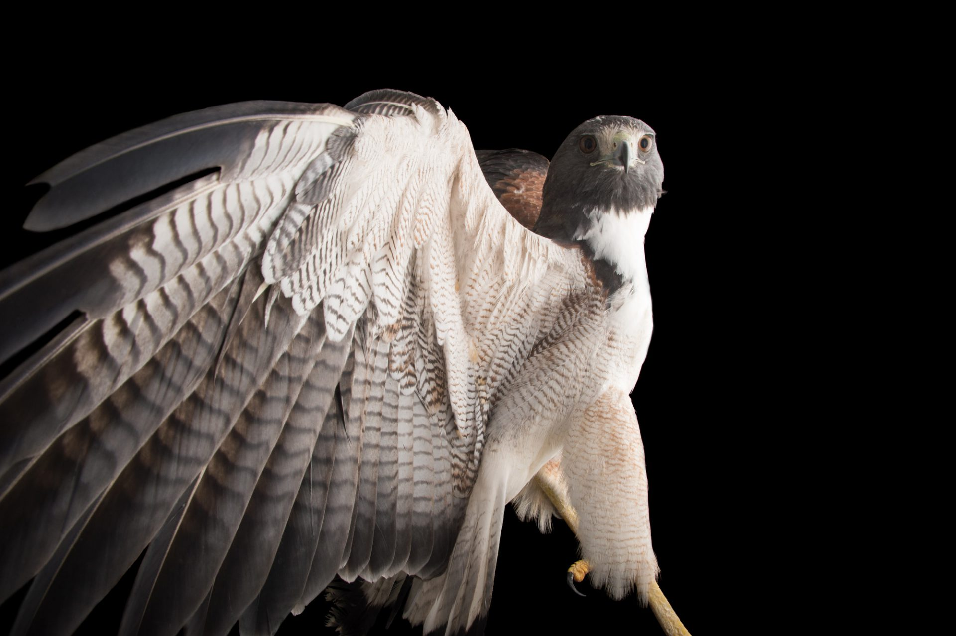 Picture of a white-tailed hawk (Geranoaetus albicaudatus ) at the National Aviary of Colombia.