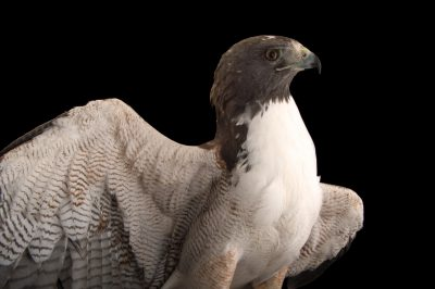 Picture of a white-tailed hawk (Geranoaetus albicaudatus) at the National Aviary of Colombia.