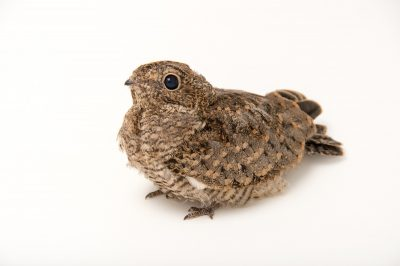 Picture of a juvenile common nighthawk (Chordeiles minor) at the WildCare Foundation.