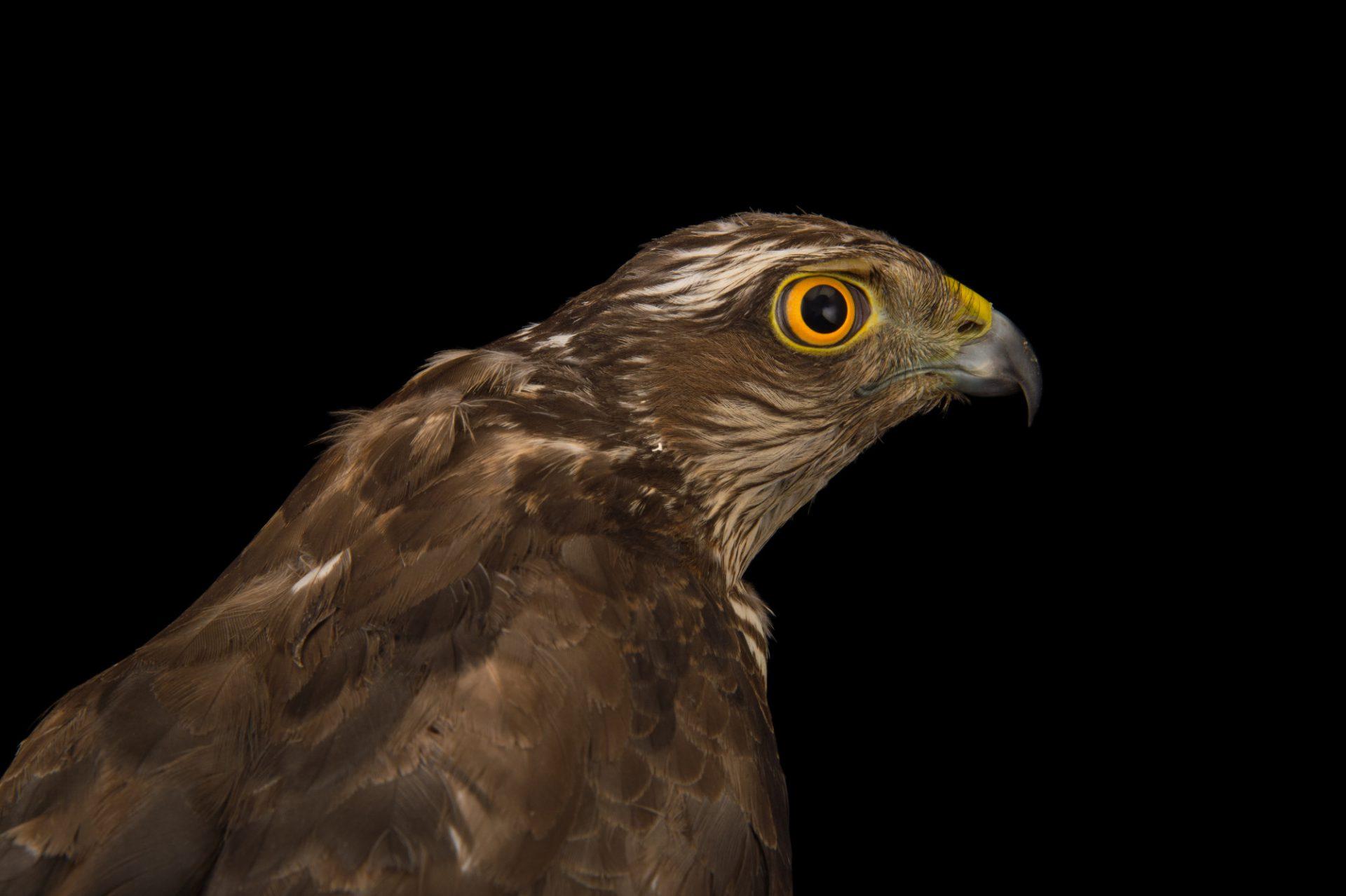 Photo: Eurasian sparrowhawk (Accipiter nisus) at the Budapest Zoo.