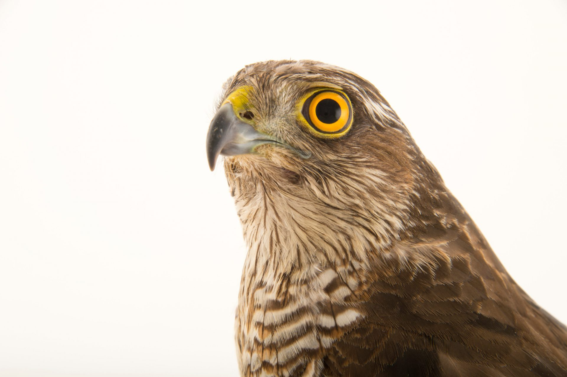 Photo: Eurasian sparrowhawk (Accipiter nisus) at the Budapest Zoo.