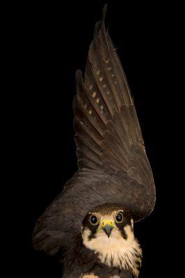 Photo: Eurasian hobby falcon (Falco subbuteo) at the Budapest Zoo.