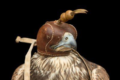 Photo: An endangered Saker falcon (Falco cherrug) momentarily wears a hood at Plzen Zoo in the Czech Republic.