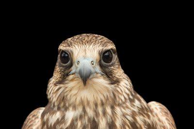 Photo: An endangered Saker falcon (Falco cherrug) at Plzen Zoo in the Czech Republic.
