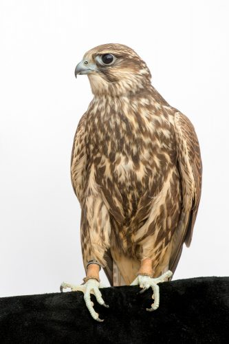 Photo: An endangered Saker falcon (Falco cherrug) at Plzen Zoo in the Czech Republic.