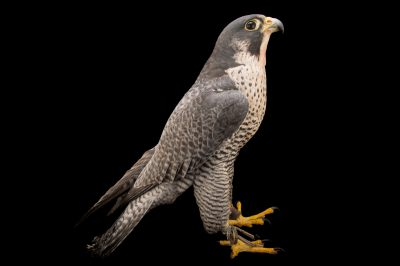 Federally endangered peregrine falcon (Falco peregrinus) from the Aleutian Islands at the Alaska Zoo.