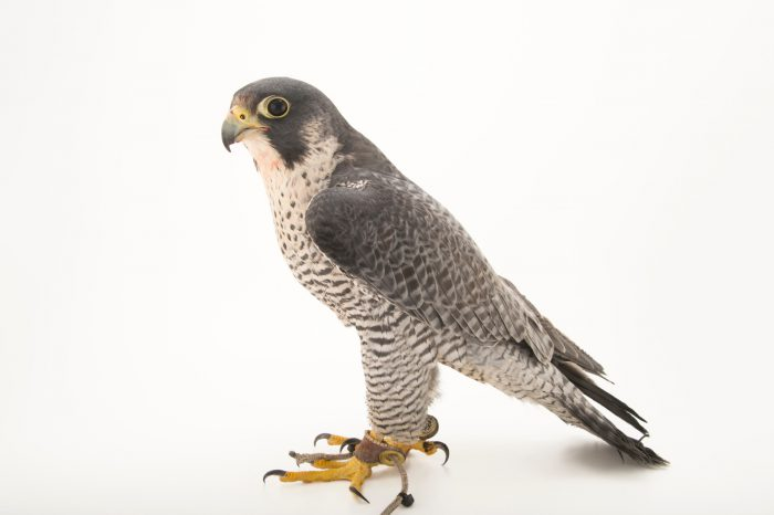 Federally endangered peregrine falcon (Falco peregrinus pealei) from the Aleutian Islands at the Alaska Zoo.