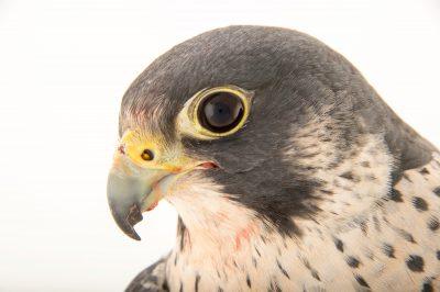 Federally endangered peregrine falcon (Falco peregrinus) from the Aleutian Islands at the Alaska Zoo.
