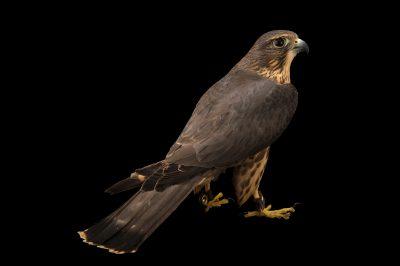 Photo: Merlin (Falco columbarius) at the Alaska Zoo.