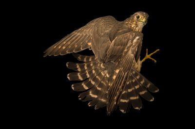 Photo: A Merlin (Falco columbarius) at the Marathon Wild Bird Center in Marathon, FL.